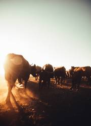 Cattle blowing up dust on rural farmland in sunset