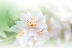 Green Nature Macro Photography.Floral Art Design.Jasmine.