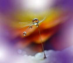 Abstract macro,dandelion,water drops.Nature.Art