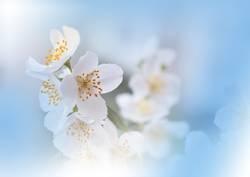 Blue Nature Macro Photography.Floral Art Design.Jasmine.