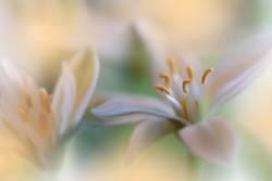 Orange Nature Macro Photography.Floral Art Design.Jasmine.