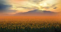 Sunflowers Field at Sunset.Orange Nature Background.
