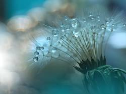 Abstract macro photo with dandelion and water drops.