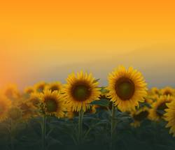 Sunflowers Field at Sunset.Nature Background