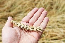 Korn in der Hand