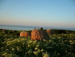 Heidschnucken auf Helgoland