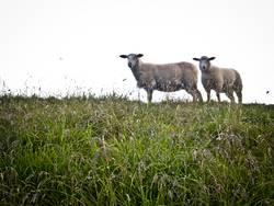 Schafe, wie begossene Pudel...