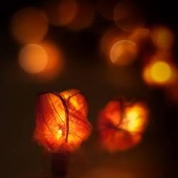 Leuchtrosen
