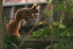 Eichhörnchen verschafft sich den Wintervorrat