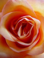 Rosengeflüster -3