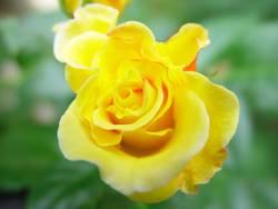 Rose - 2