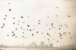 Bombay pigeons