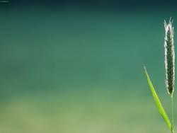 ein gras