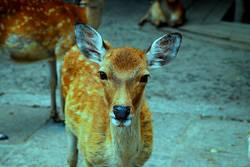 The japanese deer
