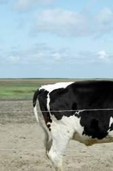 Dänisches Rind