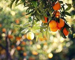Orange Garden IX