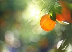 Orange Garden I