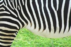 Mama, da steht ein Zebra im Garten...