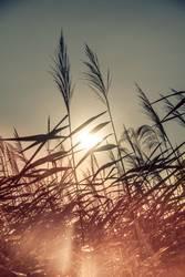 Reed in the Sun