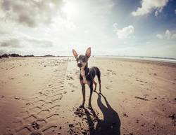 Mini pincher dog waiting for playing with the ball on the beach