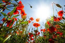 Poppy field in spring