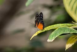 Goldener Helicon Schmetterling
