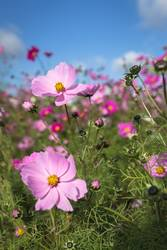 Close up of Cosmos blooming