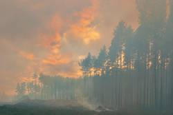 In the pine forest trees are burning