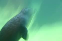 Robbenschwimmen