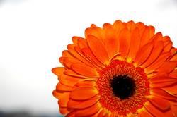 Gerbera orange #2