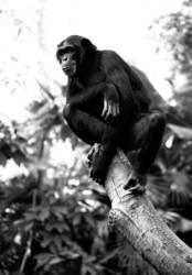 Schimpanse, der runterguckt.
