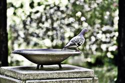 Taube, macht sich bereit zum Abflug