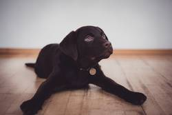 Young cute puppy Labrador
