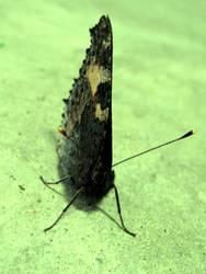 Papillion - er fliegt davon