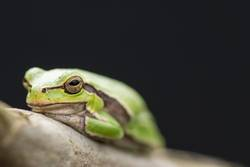 Tropical green tree frog on a branch in front of dark background