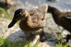 Ente (verschärft)