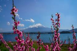 Mount Fuji and the cherry blossom