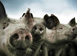 Drei Schweine vom Grill