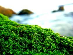 einfach nur Moos auf einem Stein am Meer