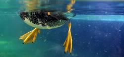 Ente unter Wasser