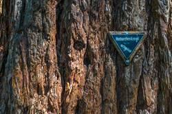 Naturdenkmalplakette an einem Mammutbaum