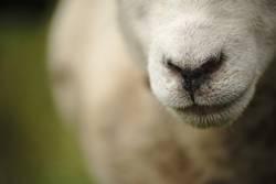 Schafsnase