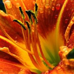 orange Blume *2