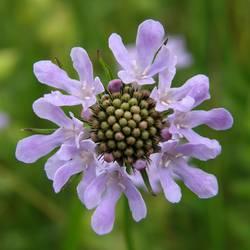 violettes Blümchen