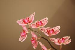 Orchidee *2