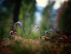 Blumen / Leberblümchen